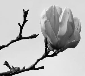 Japanese Magnolia (Stark Loveliness) (1024x915) (2)