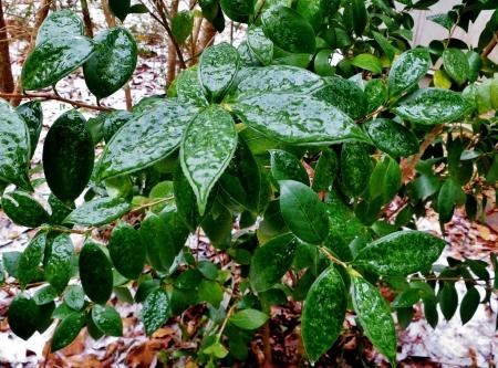 Ice on Gardenia Bush 111 (1024x759) (2)