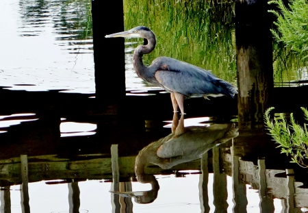 Great Blue Heron (Inner Harbor) 002 (2)